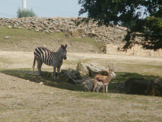 Zoom Erlebniswelt: Zebra und Gazelle in Afrika