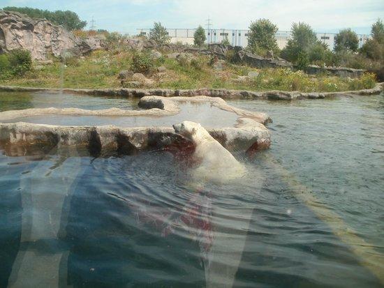 Zoom Erlebniswelt: Ein Eisbär in Alaska