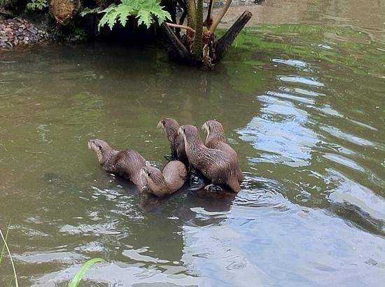 Jersey Zoo : otters