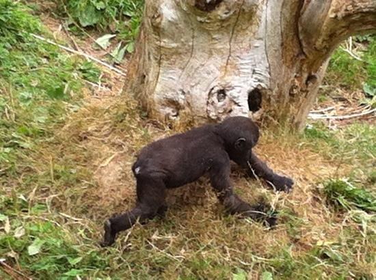Jersey Zoo: Gorilla