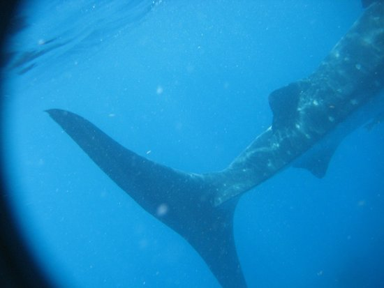 The Snorkel Shop: tail of the whale shark