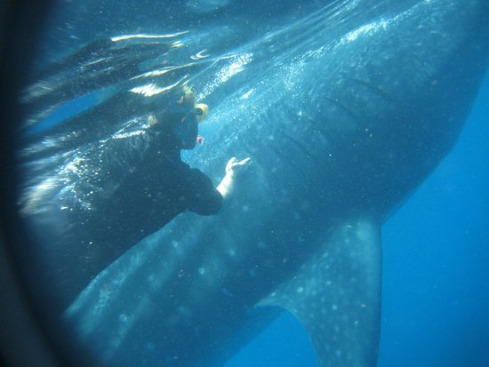 The Snorkel Shop: My husband with the whale shark (he is not touching it :)