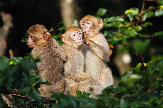 La Montagne des Singes : jeunes singes dans les arbres
