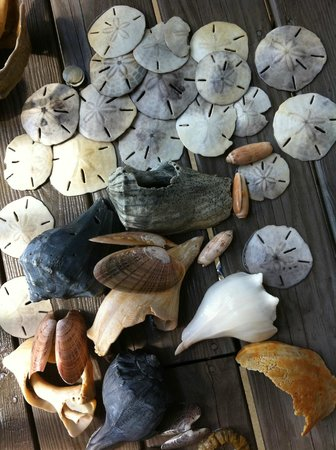 Crystal Coast Ecotours - Private Tours: Shells found while out with Crystal Coast Ecotours