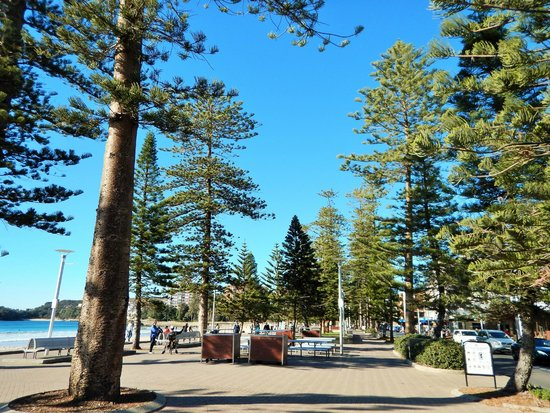 Manly Beach : Beautiful trees line the boardwalk.