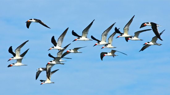 South Padre Island Dolphin Research & Sea Life Nature Center: Black Skimmers