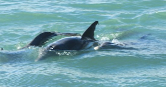 South Padre Island Dolphin Research & Sea Life Nature Center: And more dolphins
