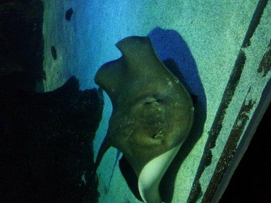 Lanzarote Aquarium : stingray