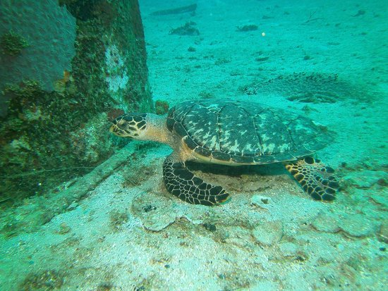 N2theBlue Scuba Diving : turtle under the pier