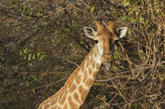 Mopaya Safari Lodge: girafe