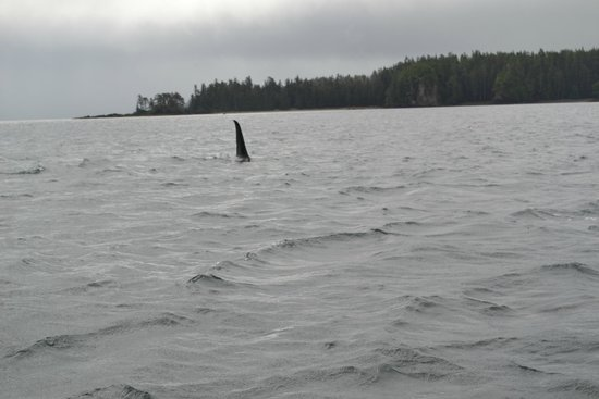 The West Coast Fishing Club - The Clubhouse : Killer Whale
