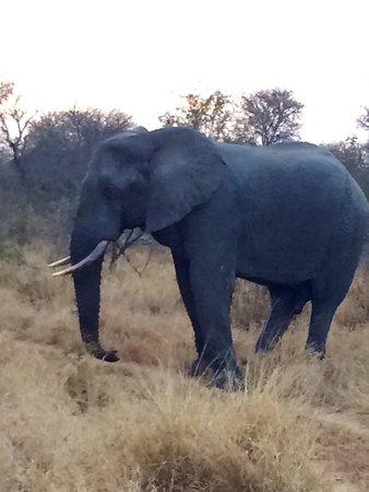 Kambaku Safari Lodge: Big game on safari