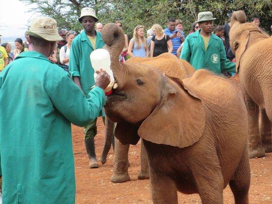 David Sheldrick Wildlife Trust: feeding time