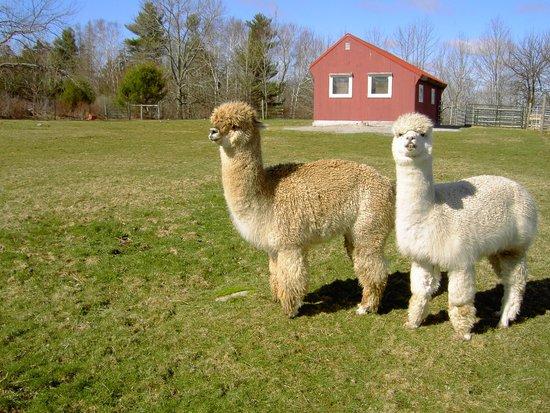Village Farm Alpacas