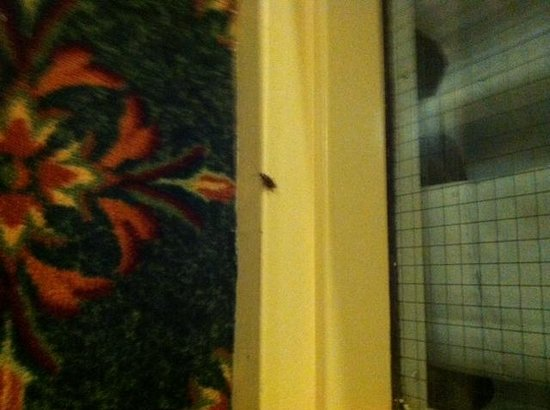 Embassy Suites by Hilton Greenville Golf Resort & Conference Center : Cockroach