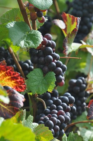 Chateau Chantal Winery & Tasting Room: Grapes! Picture taken in the fall