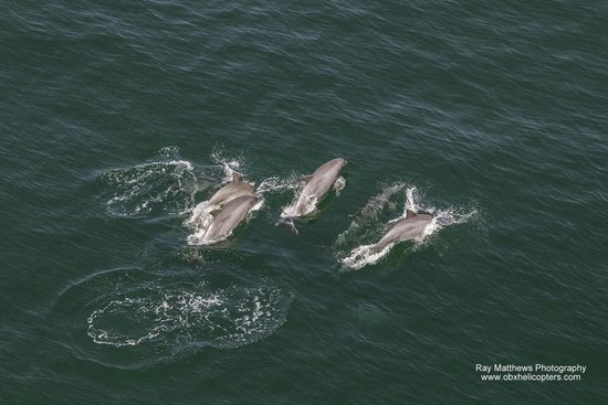 Coastal Helicopters : Dolphins offshore...