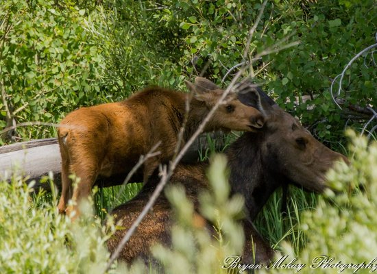 Jackson Hole Eco Tour Adventures: Baby Moose with mother