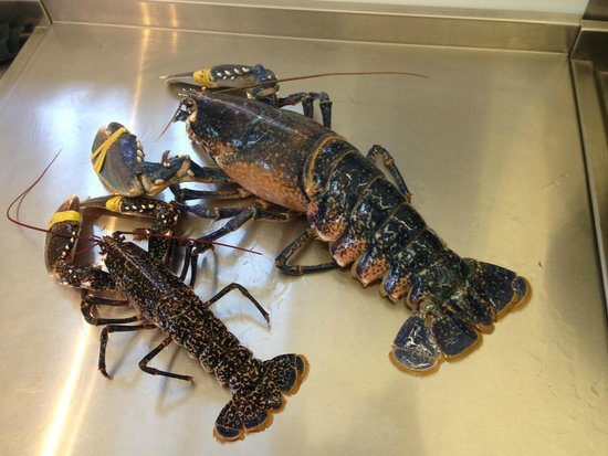Boscastle Fishing Company: A very large lobster - the foreground specimen is 1/2Kg 'regular-sized'
