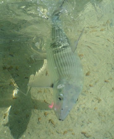 Kamalame Cay: Bone Fish on the flats