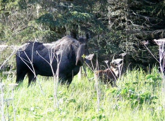 Cabins on the Bluff : Mum and baby Moose in Cabins rear meadow