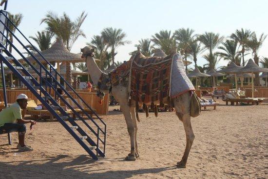 Desert Rose Resort : Верблюд на пляже