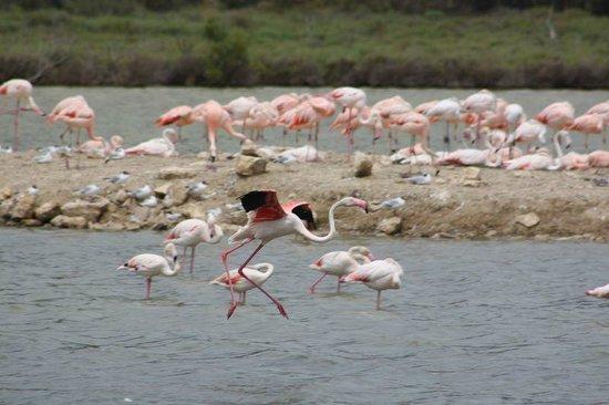 Réserve Africaine de Sigean : les flamands roses