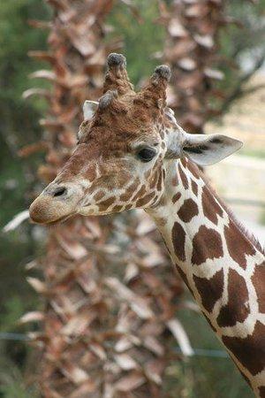 Réserve Africaine de Sigean : une girafe observe