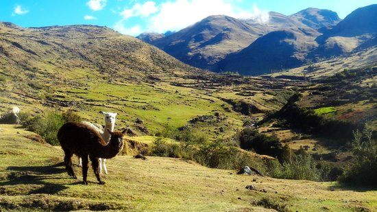 Alpaca Expeditions: A typical sight throughout the trek