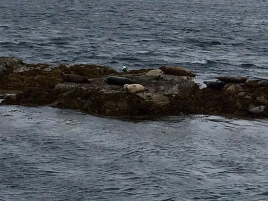 Plockton Seal Trips: Seals resting
