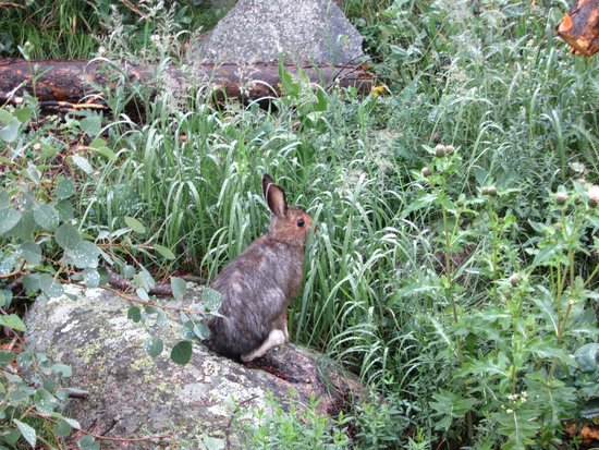 Ouzel  Falls: Snowshoe Hare on the trail