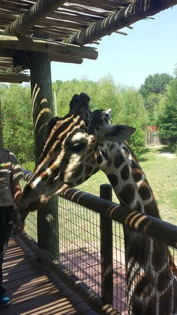 Fort Wayne Children's Zoo: Big giraffe head!!!