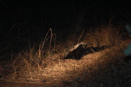 Wildlife Camp: Honey Badger sighting!