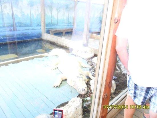 Gatorland : White gator