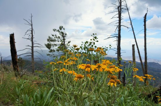 Mt. Lemmon Scenic Byway : New life after 2003 Aspen fire