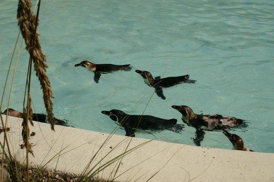 Drusillas Park: Penguins