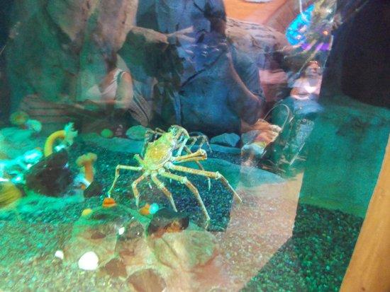 Georgia Aquarium : Giant Spider Crab