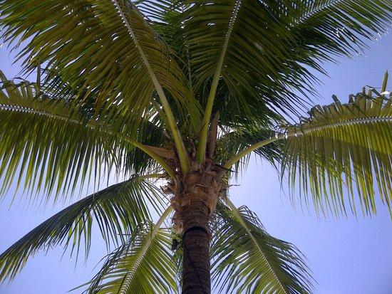 Hilton Fort Lauderdale Marina: Debajo de una palmera al lado de la piscina