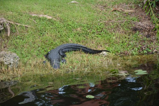 Mack's Fish Camp - Tours: alligator