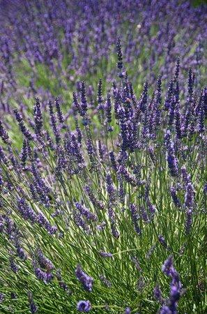 Hood River Lavender: more lavender