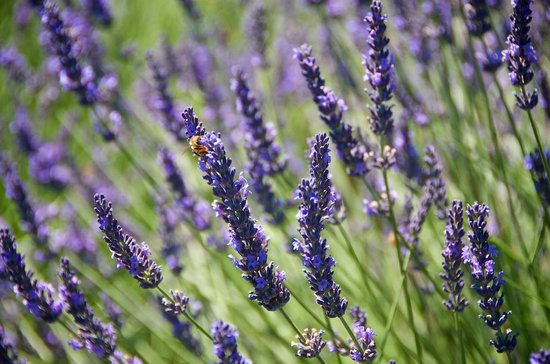 Hood River Lavender: pollination