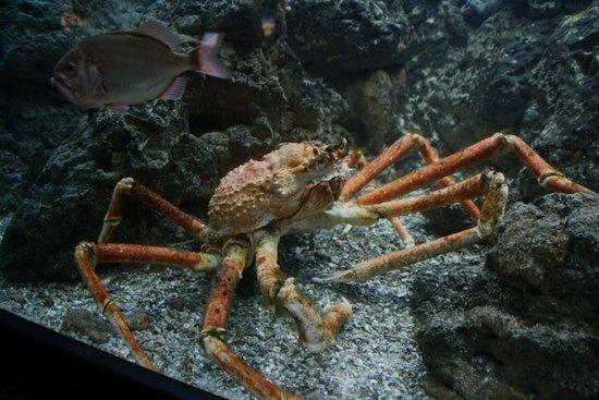 Shedd Aquarium: Spider Crab