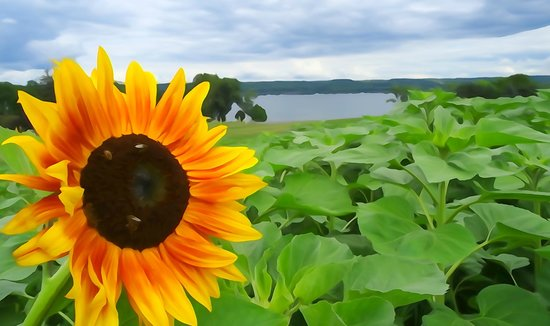 ‪‪Sheldrake Point Winery‬: Cayuga Lake and sunflower...like a painting‬