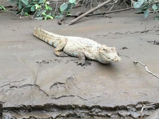 Inkaterra Reserva Amazonica: white caiman