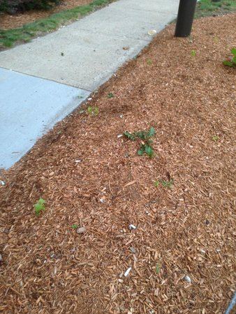 Extended Stay America - Boston - Marlborough: Entrance sidewalk scattered with trash, cig butts & weeds