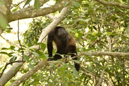 Parador Resort and Spa: Howler Monkey