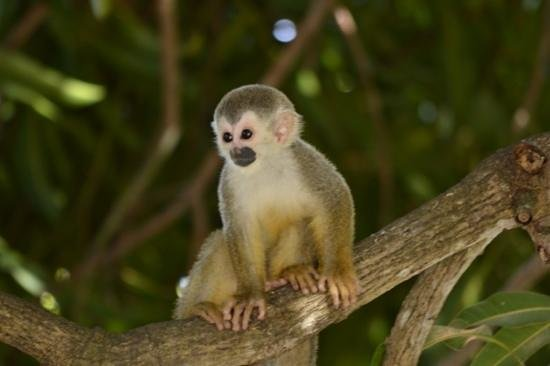 Parador Resort and Spa: Squirrel monkey
