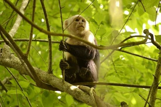 Parador Resort and Spa: White-faced Capuchin Monkey