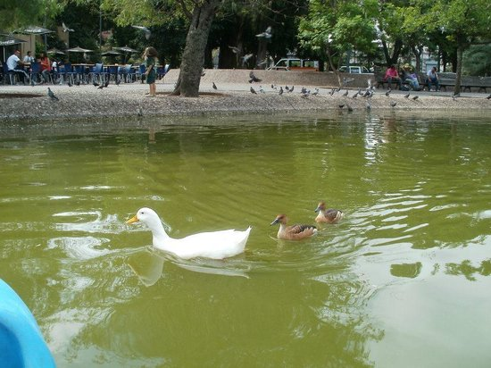 Parque Independencia: Some ducklings on the pond!