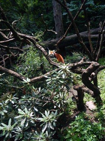 Bronx Zoo : red fox